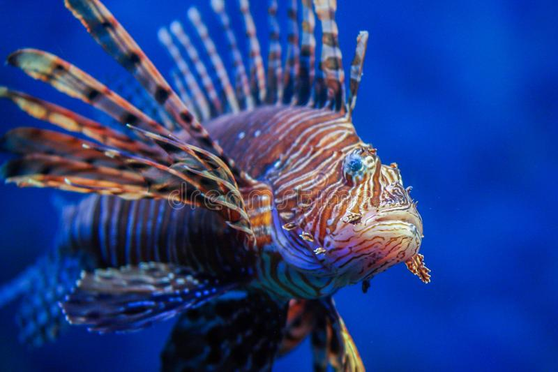 Red lionfish - one of the dangerous coral reef fish. stock photo