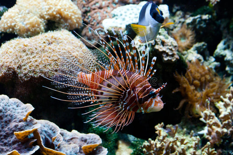 Download Red Lionfish (Pterois Volitans) Royalty Free Stock Photos - Image: 16146088