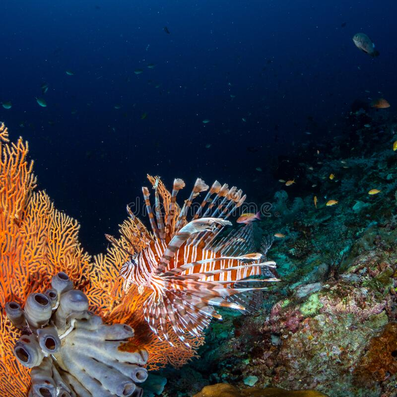 Red lionfish, Pterois volitans. Richest reefs in the world. Misool, Raja Ampat, Indonesia royalty free stock photo