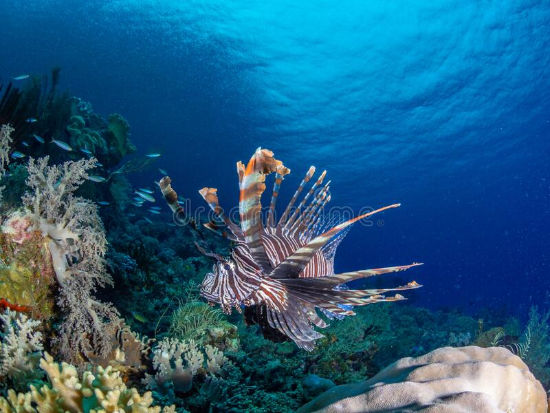 Red lionfish, Pterois volitans. Richest reefs in the world. Misool, Raja Ampat, Indonesia stock photo