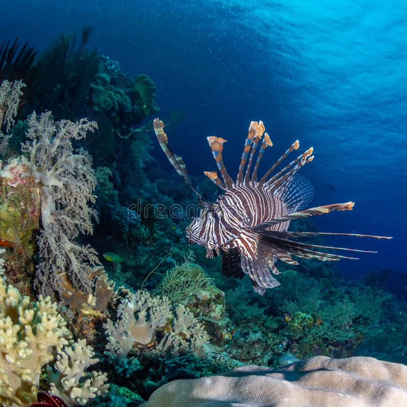 Red lionfish, Pterois volitans. Richest reefs in the world. Misool, Raja Ampat, Indonesia royalty free stock images