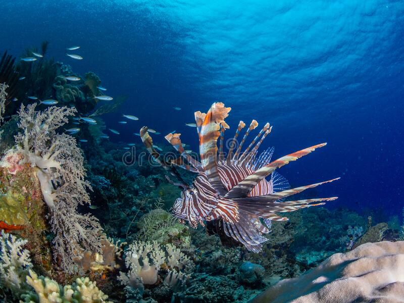 Red lionfish, Pterois volitans. Richest reefs in the world. Misool, Raja Ampat, Indonesia stock photography