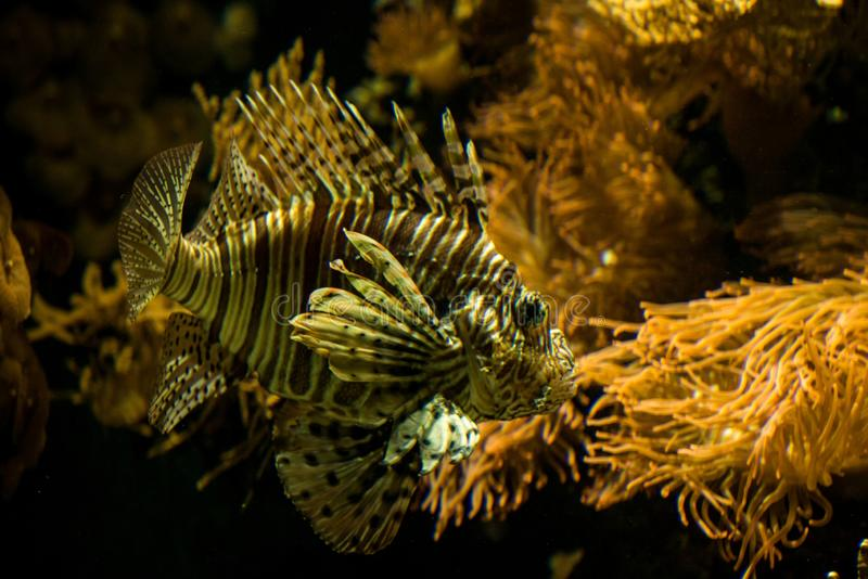 Red lionfish Pterois volitans, venomous coral reef fish, Salt water marine fish. Beautiful fish with tropical corals in background royalty free stock photos