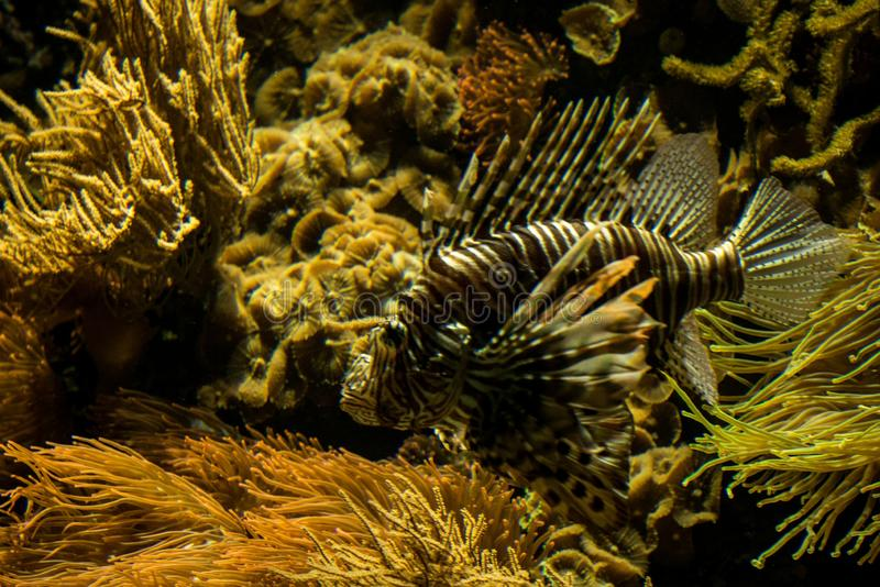 Red lionfish Pterois volitans, venomous coral reef fish, Salt water marine fish. Beautiful fish with tropical corals in background stock image
