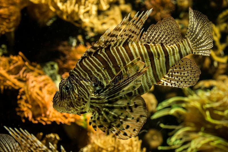 Red lionfish Pterois volitans, venomous coral reef fish, Salt water marine fish. Beautiful fish with tropical corals in background royalty free stock photography