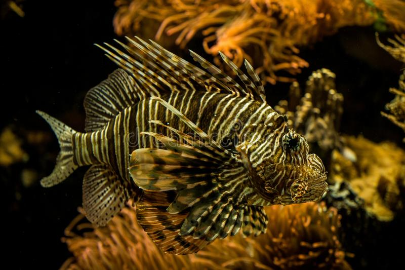 Red lionfish Pterois volitans, venomous coral reef fish, Salt water marine fish. Beautiful fish with tropical corals in background royalty free stock images