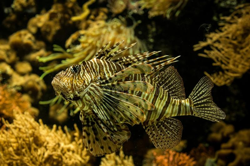 Red lionfish Pterois volitans, venomous coral reef fish, Salt water marine fish. Beautiful fish with tropical corals in background stock photos