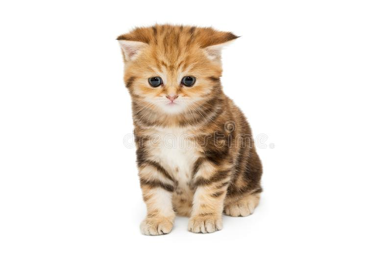 Red British kitten stock photography