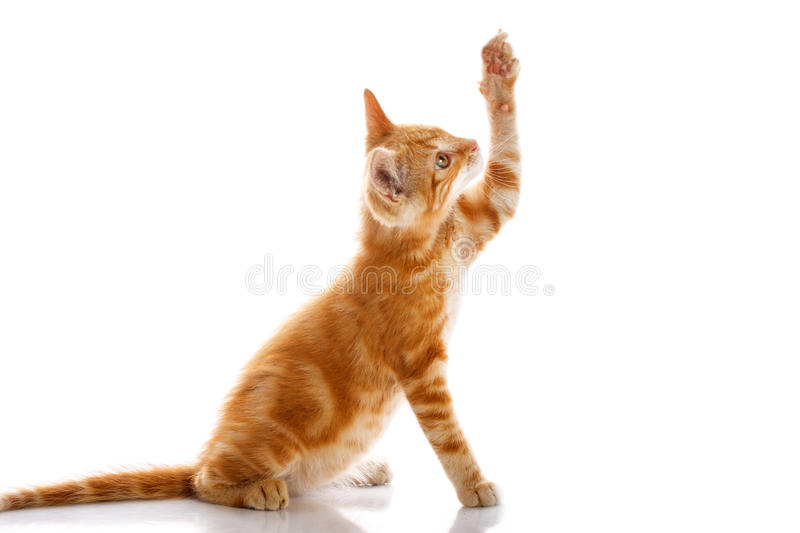 Red little cat. On the isolated background, studio shot royalty free stock photos
