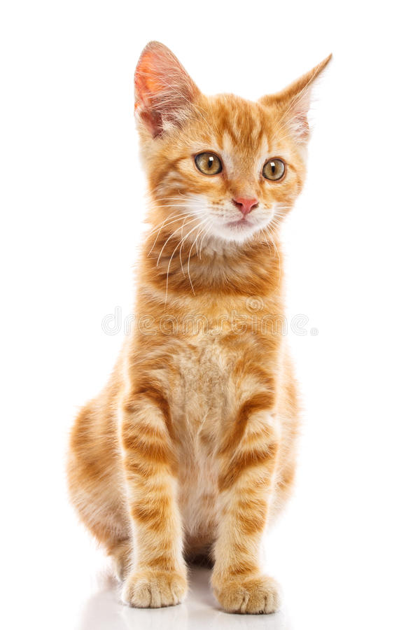 Red little cat. On the isolated background, studio shot stock photography