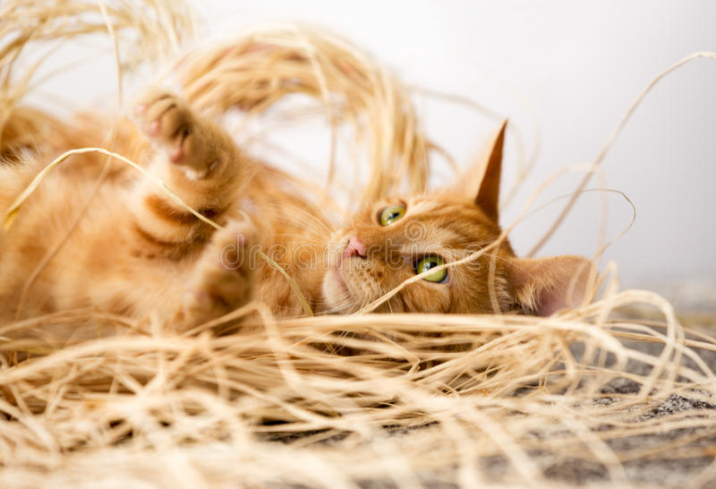 Red little cat. Playing, fun pet royalty free stock images