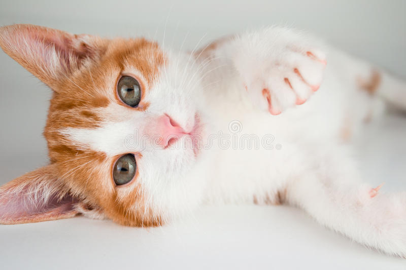 Red little cat. On white background close up royalty free stock image