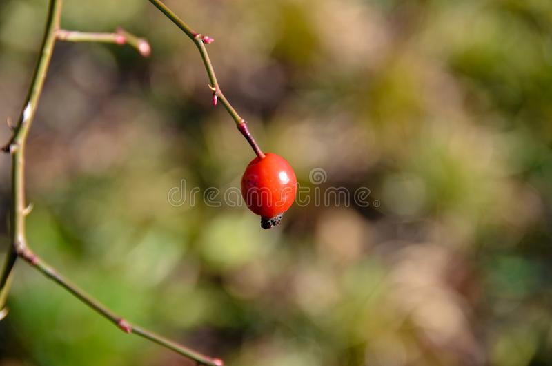 Red lonely Rose Hip at a single branch. stock photography