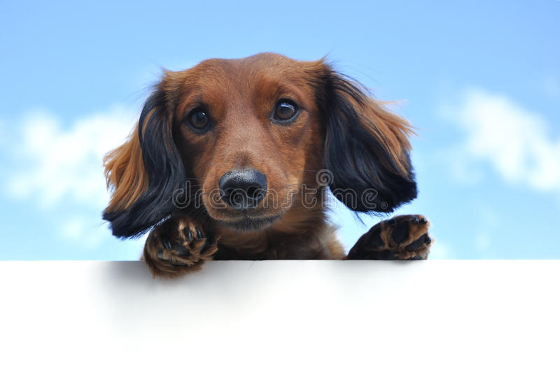 Red Long-Haired Dachshund Above a Blank Sign. Red Miniature Long-Haired Dachshund Above a Blank Sign royalty free stock photos