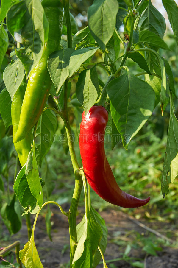Red long hot pepper. Bush of red long hot pepper growing royalty free stock photo