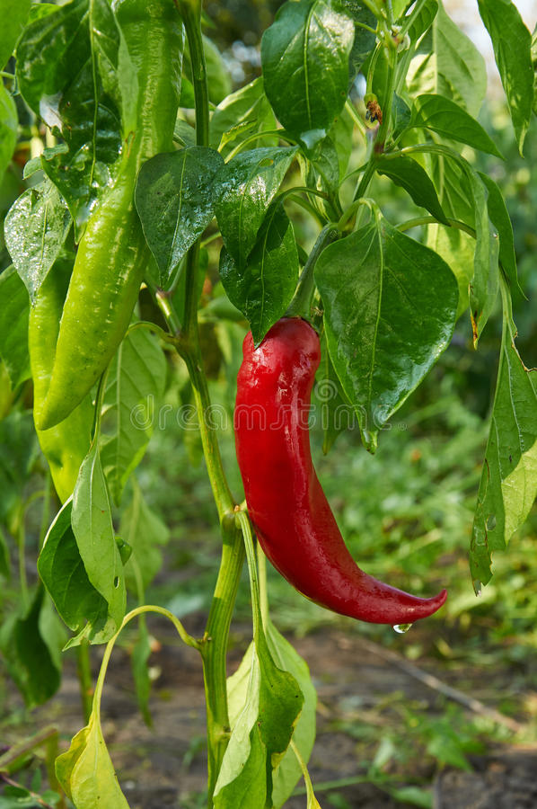 Red long hot pepper. Bush of red long hot pepper after rain stock images