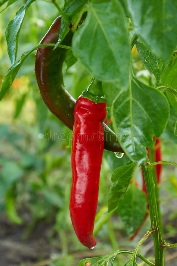 Red long hot pepper. Bush of red long hot pepper after rain stock photography