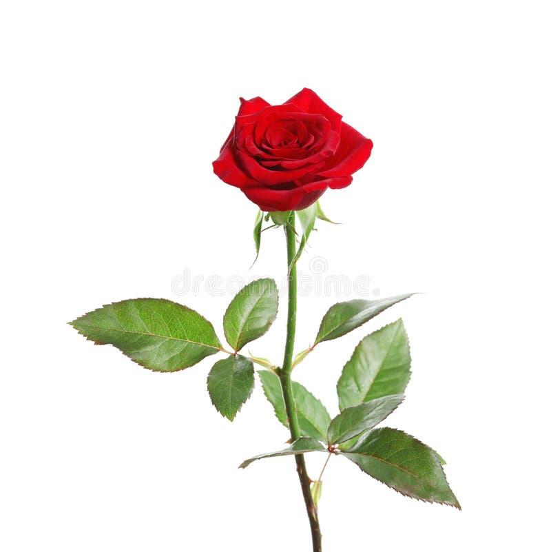 Red long stem rose royalty free stock photos