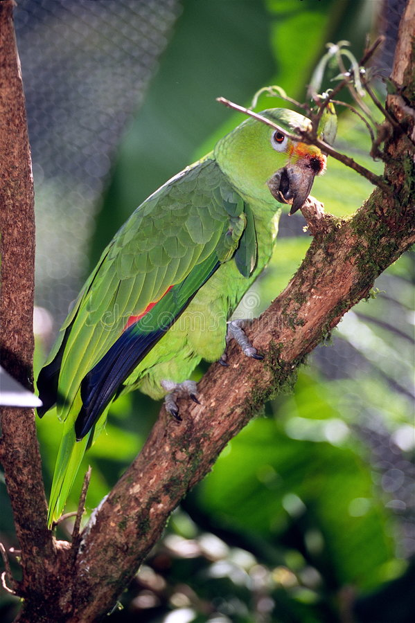 Download Red-lored Parrot stock photo. Image of bird, colors, aves - 4194472