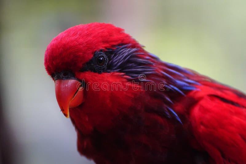 Red lorikeet parrot in the bird park. Of kuala lumpur stock photo