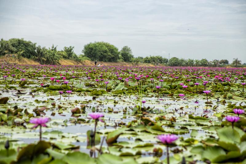 Red Lotus Floating Market in Thailand royalty free stock image