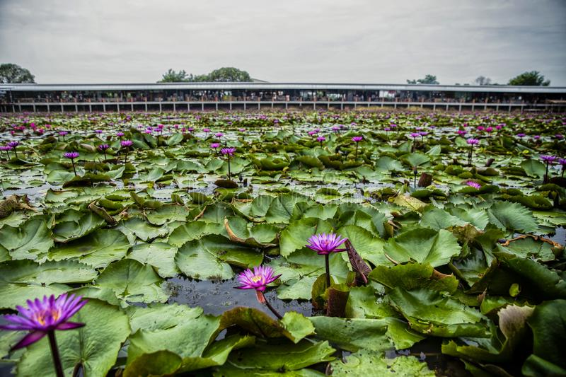 Red Lotus Floating Market in Thailand royalty free stock photography