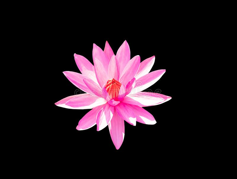 Red lotus flower blooming on black background royalty free stock image