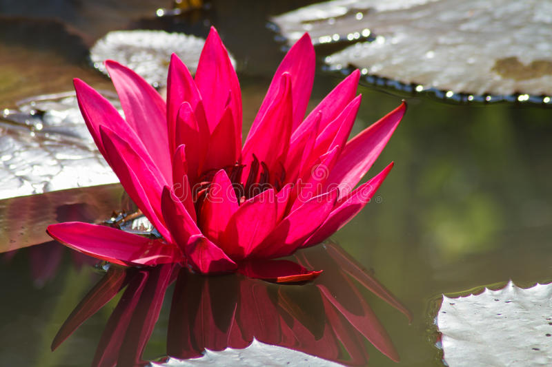 Red lotus flower stock photography
