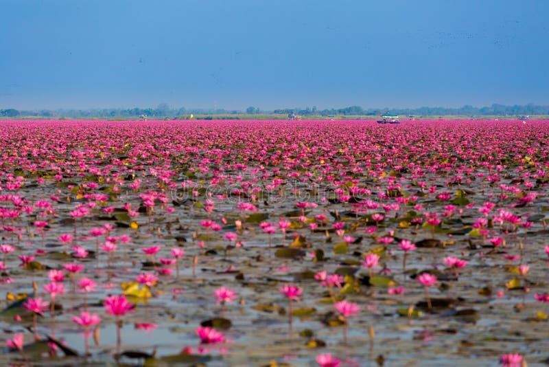 Red Lotus Lake Udon Thani Stock Image Image Of Green 91323123