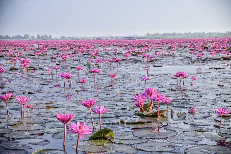 Red Lotus Lake in Udon Thani, Thailand stock photo