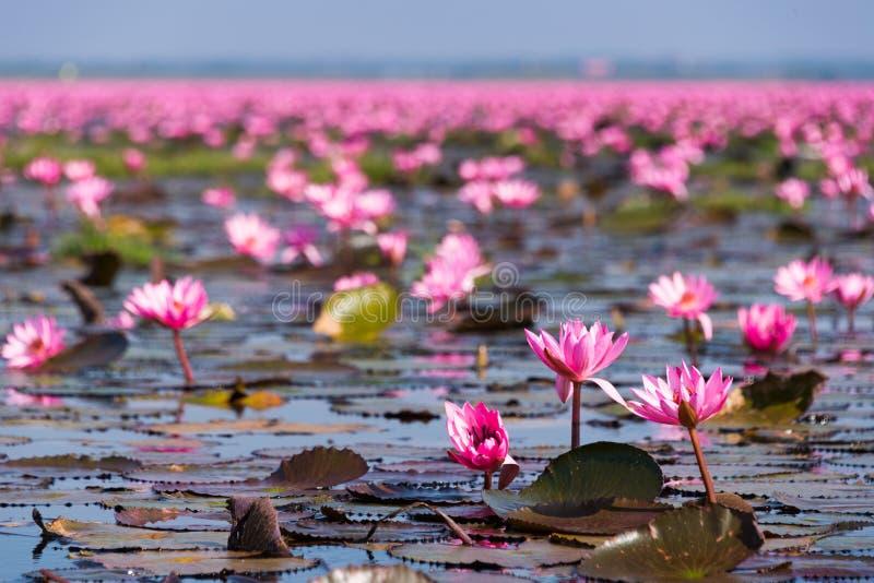 Red Lotus Sea at Udon Thani stock photo