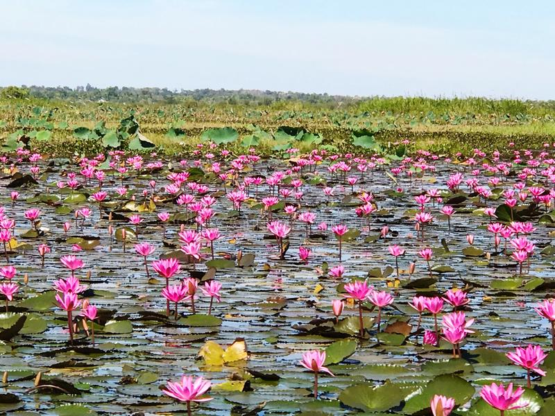 Red lotus sea in Udonthani, Thailand. Place for travel trip in Thailand royalty free stock images