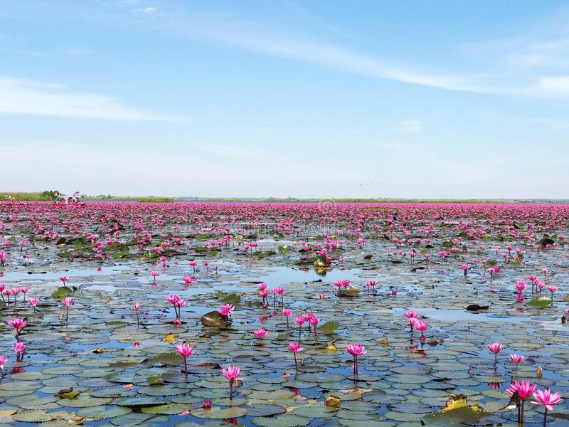 Red lotus sea in Udonthani, Thailand. Place for travel trip in Thailand royalty free stock photo