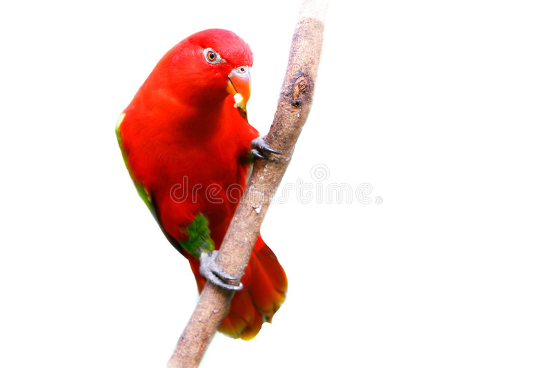 Download Red Lovebird Over White Stock Images - Image: 6073374