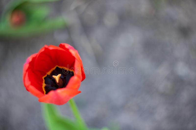 Red lush bud of a tulip close up stock photography