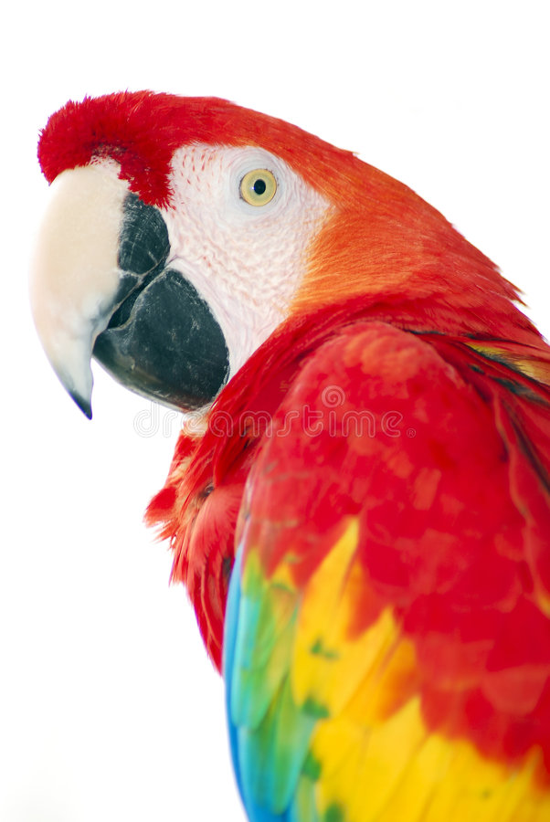 Red macaw royalty free stock photos