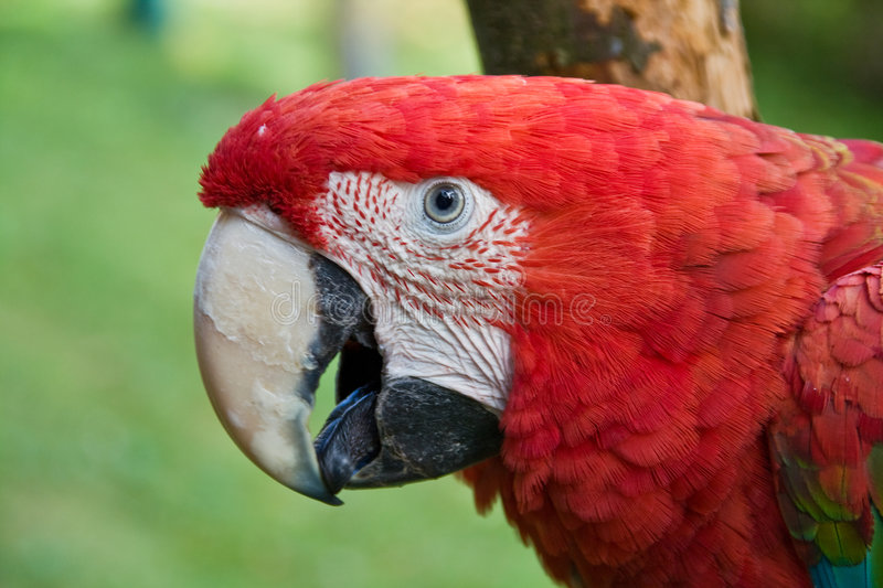 Red macaw. Portrait of a red green winged macaw stock image