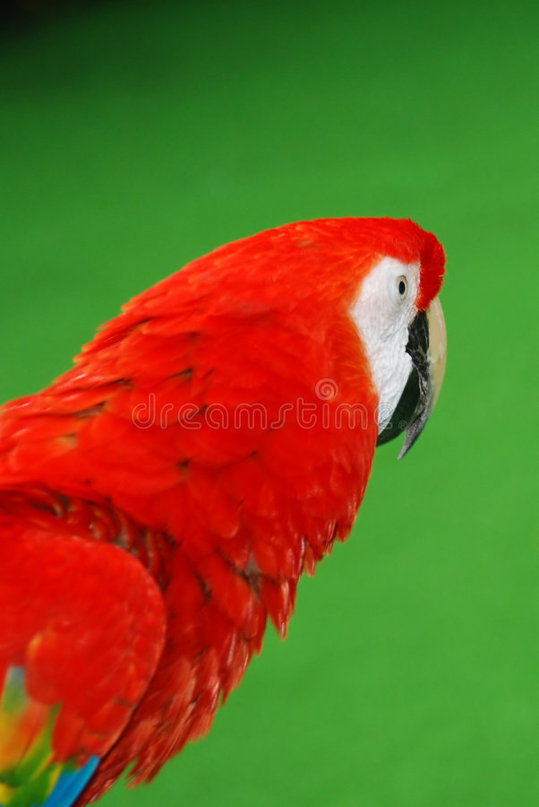 Download Red macaw bird portrait stock photo. Image of brilliant - 4867916
