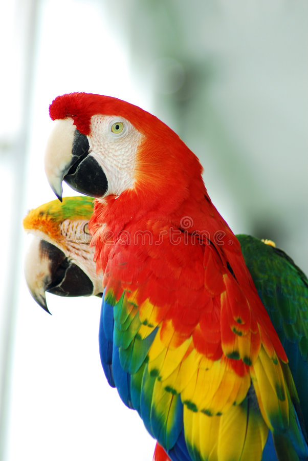 Red macaw birds couple royalty free stock photography