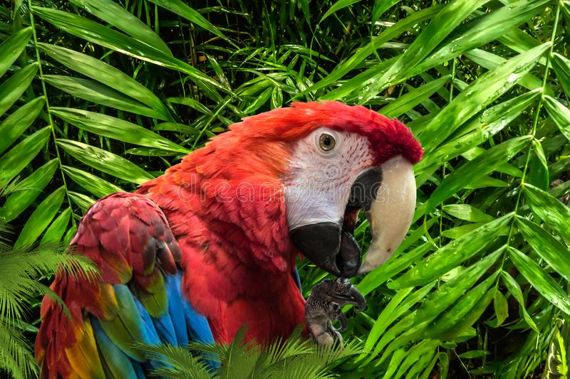 Red cute funny macaw parrot ara. Bright beautiful cute funny bird of red, blue, yellow feathered ara parrot outdoor on green natural background stock photography