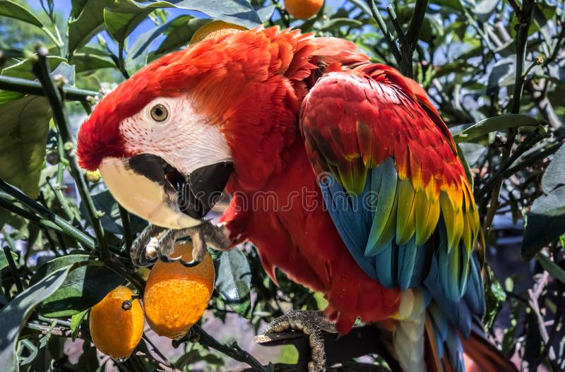 Red cute funny macaw parrot ara. Bright beautiful cute funny bird of red, blue, yellow feathered ara parrot outdoor on lemon tree close-up stock images