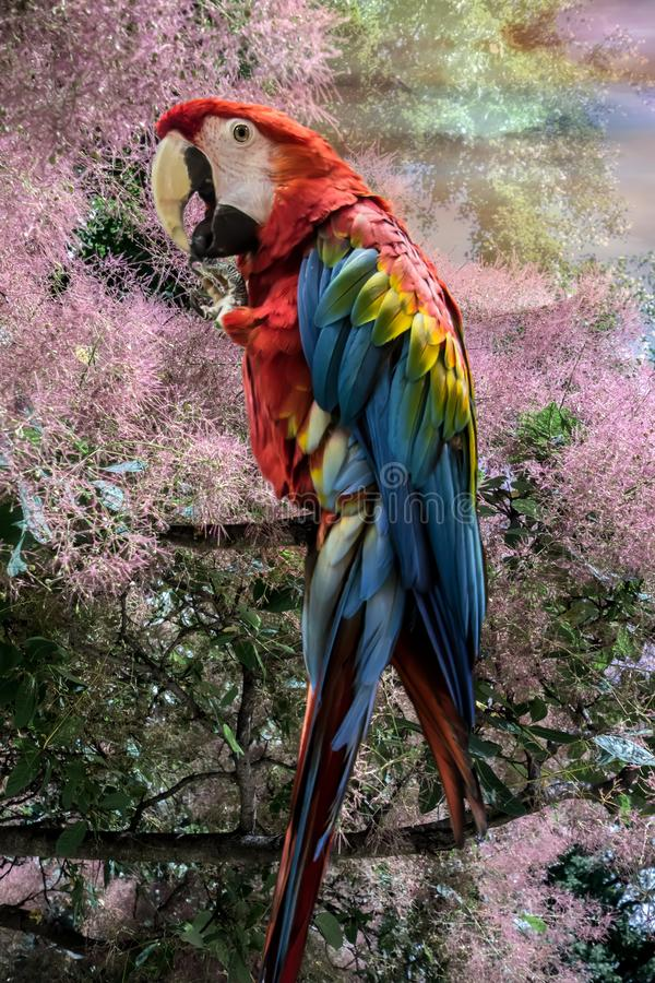 Red cute funny macaw parrot ara. Bright beautiful cute funny bird of red, blue, yellow feathered ara parrot outdoor on rose tree close-up royalty free stock photo