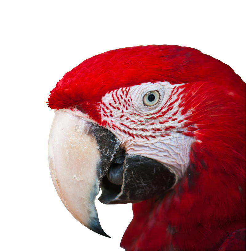 Red macaw on white with path royalty free stock photography