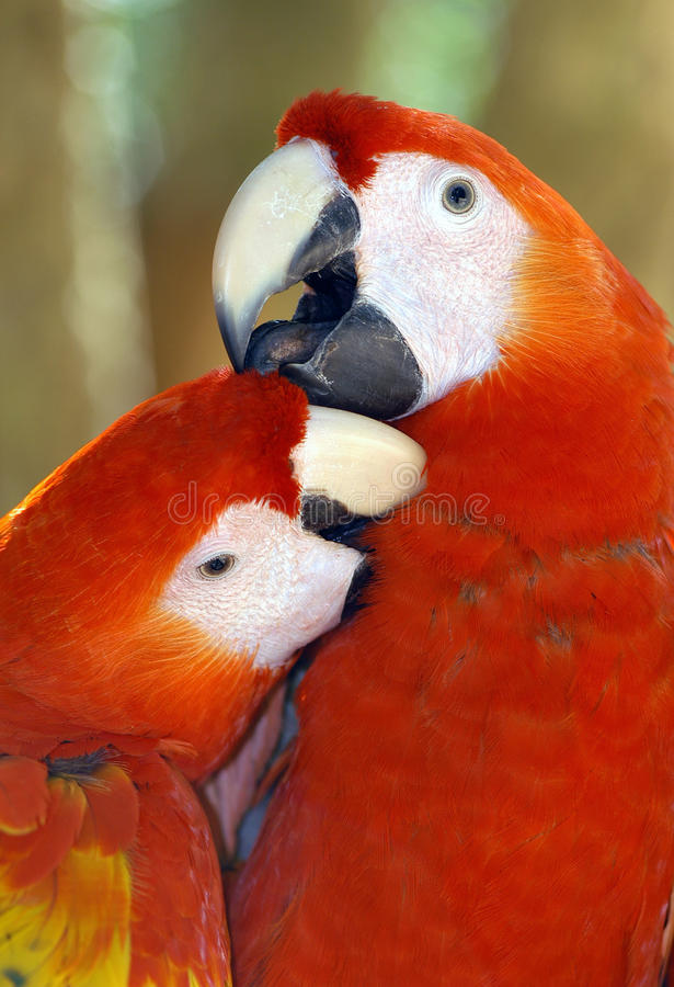 Red Macaws. Portrait of red macaws playing royalty free stock image