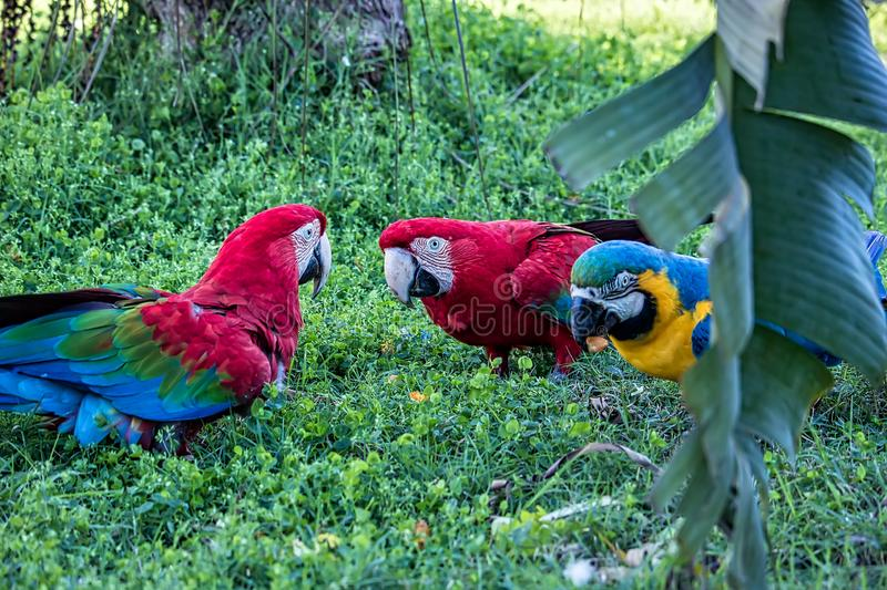 Red macaws and blue and yellow macaw eating fruit on the ground.  stock images