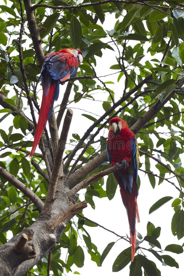 Red Macaws on branch. Macaws standing over tree branches, outdoor wildlife royalty free stock photos
