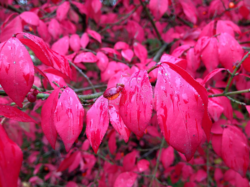 Red/magenta Fall Background Royalty Free Stock Photo