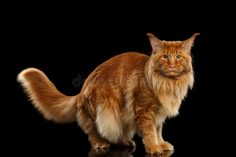 Red Maine Coon Cat Standing with Furry Tail Isolated Black. Red Maine Coon Cat with Furry Tail Standing and Looking in Camera Isolated on Black Background, Side royalty free stock photo
