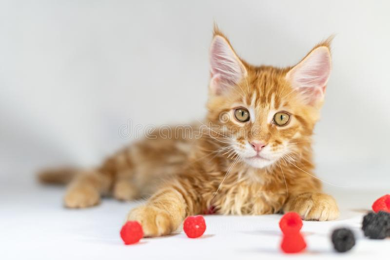 Red Maine Coon kitten. Cute, largest and beautiful cat breed. White background royalty free stock photography