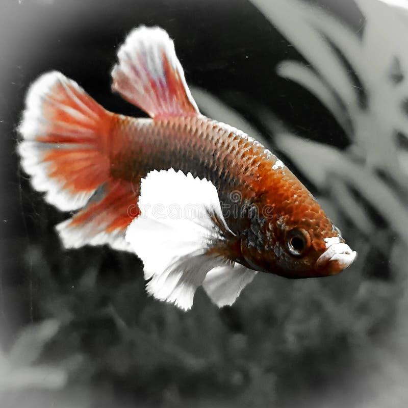 Red male Betta Splenda fish. On black and gray background small aquarium fish royalty free stock images